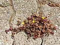 Oxalis corniculata sl1.jpg