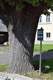 Pöls - Naturdenkmal 748 - Stieleiche am Hauptplatz - 2.jpg