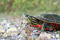 Painted Turtle (15144406439).jpg