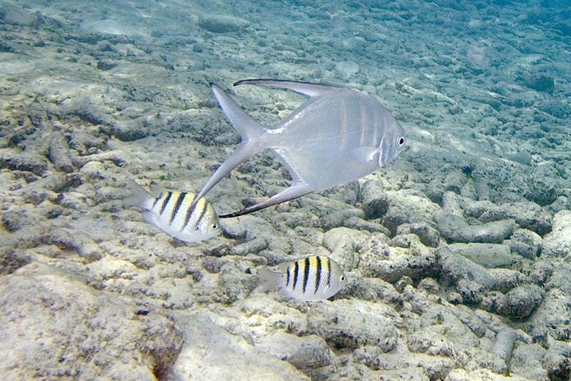 Palometa Trachinotus goodei (4672127960).jpg