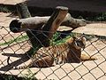 Panthera tigris 2, Parque Zoológico de Sapucaia do Sul, Brazil.jpg