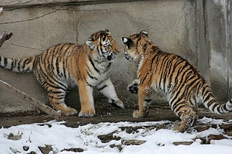 Buffalo Zoo - Image: Panthera tigris altaica 02 Buffalo Zoo
