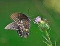 Papilio troilus (9624699728).jpg