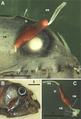 Parasite170136-fig1 Protosarcotretes nishikawai.png