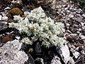 Paronychia cephalotes sl6.jpg
