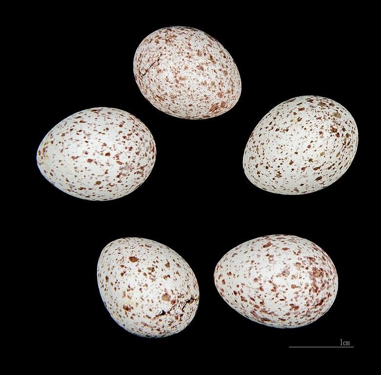 Sýkorka bielolíca - vajíčka