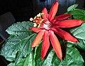 Passiflora vitifolia flower.jpg