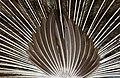 Peacock (7) (8315388393).jpg