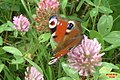 Peacock (NH) (15670670970).jpg