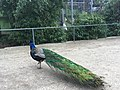 Peacock zoo ulm.jpg