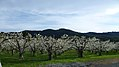 Pear orchards along US HWY 2 near Dryden Washington 2.jpg