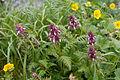 Pedicularis chamissonis var. japonica 20.jpg