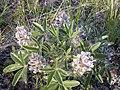 Pediomelum esculentum (Psoralea esculenta) (4015380173).jpg