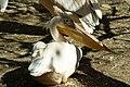 Pelícano común (Pelecanus onocrotalus).jpg