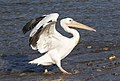 Pelecanus onocrotalus - Great White Pelican 04.jpg