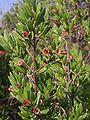 Pemphis acidula flowers02.jpg