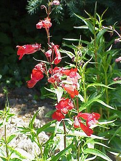 Penstemon barbatus2.jpg