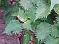 Perilla frutescens (L.) Britton (AM AK323039-3).jpg