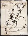 Periploca Aubl. s.n. MNHN P-P00778218.jpg