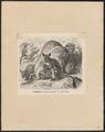Petrogale xanthopus - 1700-1880 - Print - Iconographia Zoologica - Special Collections University of Amsterdam - UBA01 IZ20300029.tif