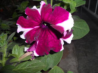<i>Petunia</i> × <i>atkinsiana</i> nothospecies of plant