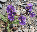 Phacelia crenulata close.jpg