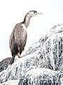 Phalacrocorax punctatus (10741633923).jpg