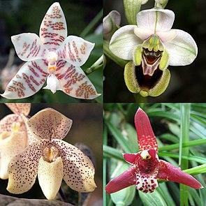 Phalaenopsis hieroglyphica (links oben) Wespen-Ragwurz (Ophrys tenthredinifera) (rechts oben)Paphiopedilum concolor (links unten)Maxillaria tenuifolia (rechts unten)
