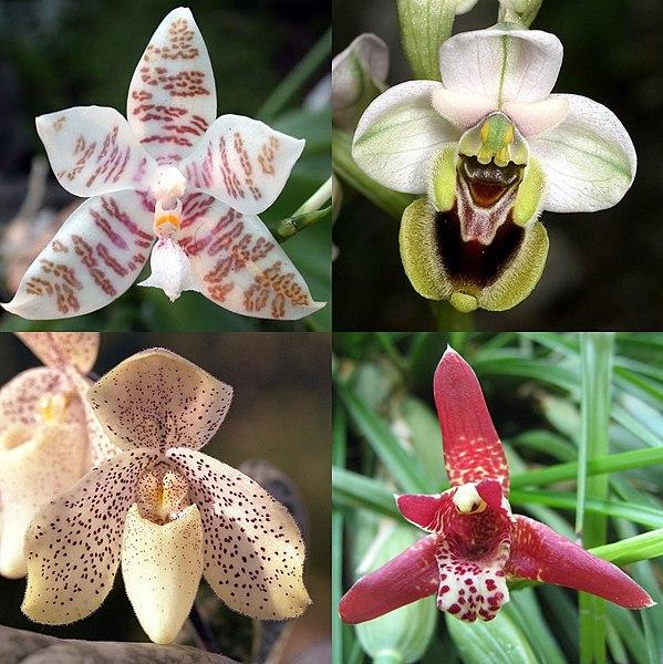 File:PhalaenopsisOphrysPaphiopedilumMaxillaria.jpg