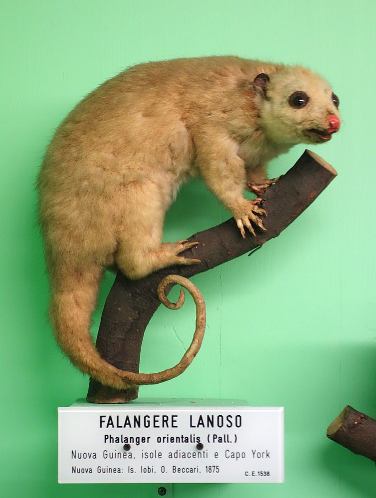 The average litter size of a Northern common cuscus is 1