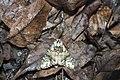 Pheosiopsis lusciniola (45366843352).jpg