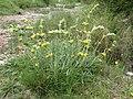 Phlomis lychnitis (8741897104).jpg