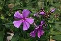 Phlox paniculata Blue Paradise 4zz.jpg