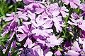 Phlox subulata Purple Beauty 3zz.jpg
