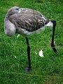Phoenicopterus ruber Schlafender Jungvogel.JPG
