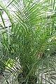 Phoenix roebelenii 5zz.jpg