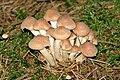 Pholiota.gummosa3.-.lindsey.jpg
