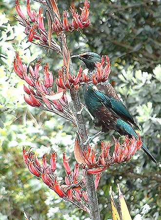 Phormium - Phormium tenax flowers have the same curvature as the beak of the nectar eating Tui seen in the photograph.