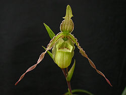 Phragmipedium richteri 038.jpg