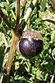 Physalis ixocarpa 'Purple de Milpa', Tsaghkadzor, in culture, 2011.09.22.jpg