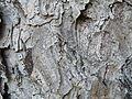 Picea abies (1111) 08.JPG