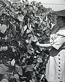 Picking beans (4204026476).jpg