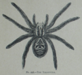 Picture Natural History - No 296 - The Tarantula.png