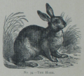 Picture Natural History - No 34 - The Hare.png
