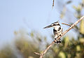 Pied kingfisher on branch Gambia.jpg