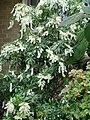 Pieris japonica (1).JPG