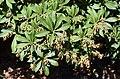 Pieris japonica 03.jpg