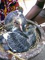 Pigeon Chicks2 2am.jpg