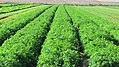 PikiWiki Israel 15344 Green spice crops.JPG