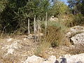 PikiWiki Israel 4227 urginea maritima.jpg